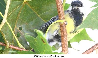 bird titmouse on tree