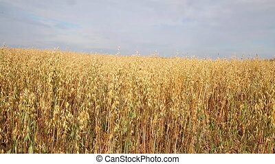 oat crop on an agricultural field - big field with oats in...