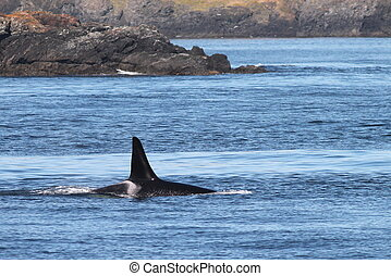 Orca Whale on the Washington Coast - An Orca Whale surfacing...