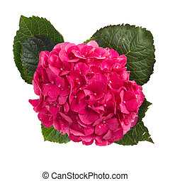 hortensia - pink hortensia flower isolated on white...