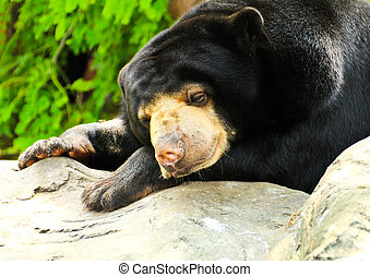 Malayan Sun Bear sleeping