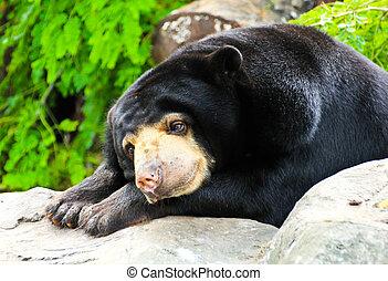 Malayan Sun Bear sleeping.
