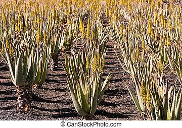 Aloe Vera Plantage, Aloe Vera plantation - Echte Aloe, Aloe...