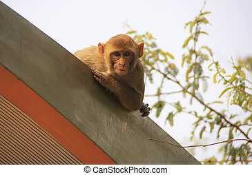 Rhesus Macaque on the roof of a bus stop, New Delhi