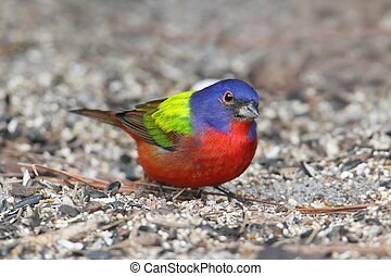 Painted Bunting (Passerina ciris) - Colorful Painted Bunting...