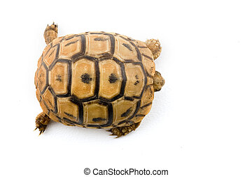 baby turtle from above isolated on white
