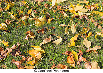 Yellow Fall Beech Tree Leaves on Grass Lawn