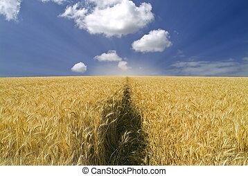wheat field - ripe wheat field and cloudy blue sky