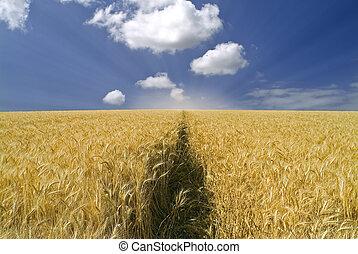 wheat field - ripe wheat field and cloudy blue sky