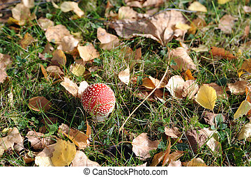 fly agaric on a meadow