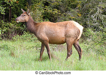 Elk Cow (Cervus canadensis) in a green field