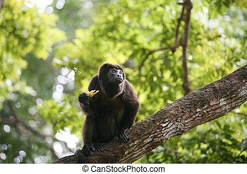Ateles geoffroyi vellerosus Spider Monkey in Panama eating...