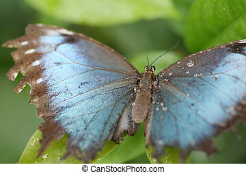 Macro shot of blue morpho butterfly perched on a leaf Focus...