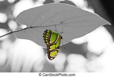 Malachite (Siproeta stelenes) butterfly perched on leaf.