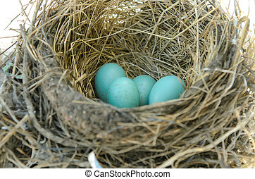 Robins Bird Nest - Robins nest with 4 eggs in it Isolated on...