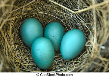 Robin's Bird Nest - Close-up of a robins nest with 4 eggs in...