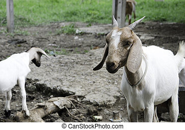 Goat farm - Goat lives on a farm field in Thailand