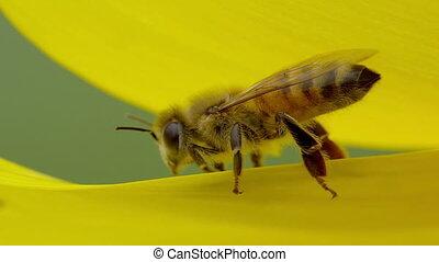 bee - macro bee