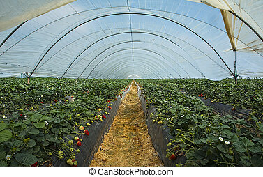 Strawberry cultivation in Huelva - The expertise of...