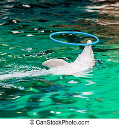 dolphin playing  with a hoop