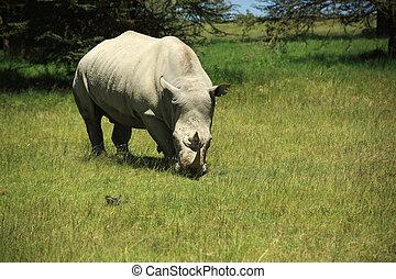 Rhino eating grass in Kenya Africa