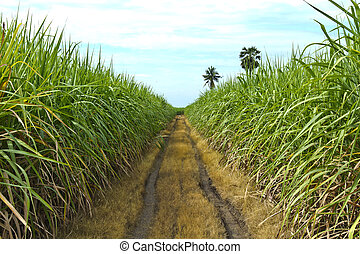 sugar cane - Sugarcane in farm with blue sky in Thailand