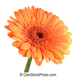 Orange Gerbera Flower with Green Stem Isolated on White...