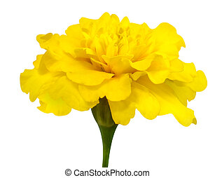 Yellow Marigold Flower with Green Stem Isolated on White