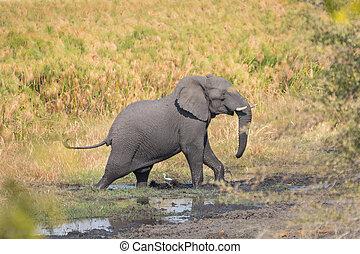 步行, 大象