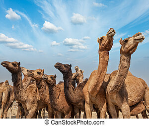 Camels at Pushkar Mela (Pushkar Camel Fair), India - Camels...