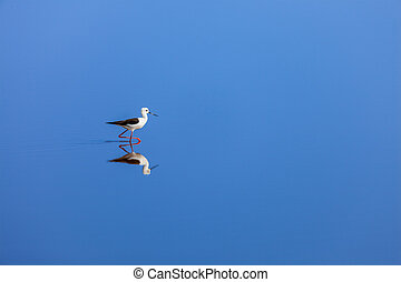 Black-winged Stilt - Solitude concept background - The...