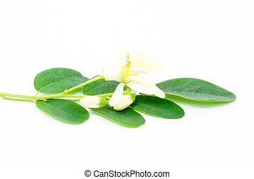 flowers and Leaves of Moringa on white