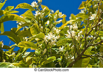 Lemon flowers - Blossoming flowers on a citrus tree--a sign...