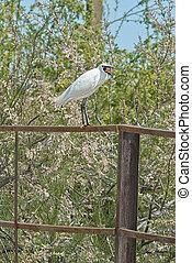 Snowy Egret  with open beak
