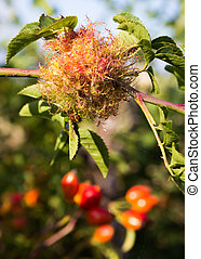 Dog-rose Gall - A furry growth on a dog-rose, called a...
