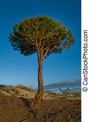 Stone Pine - The Stone Pine (Pinus pinea) is also called...