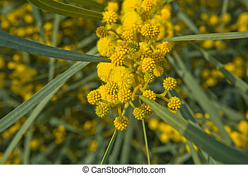 Golden Wattle branch - Acacia pycnantha (Golden Wattle) is...