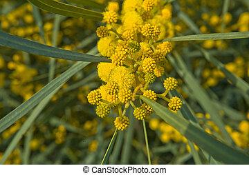 Golden Wattle branch - Acacia pycnantha (Golden Wattle) is...