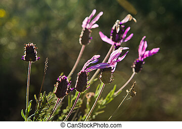 Lavender flowers. This is Spanish lavender or lavandula...