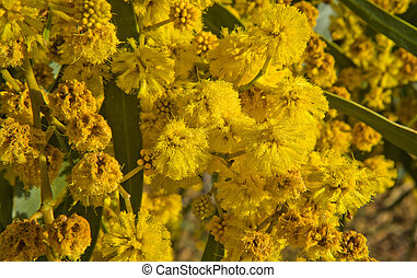 Gonden Wattle flowers - Acacia pycnantha (Golden Wattle) is...