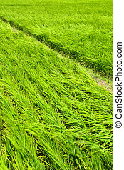 Rice farm in country - Rice farm with path in the country,...