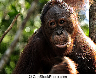 Orangutan in the Wild - Orangutan in the jungle, Camp...