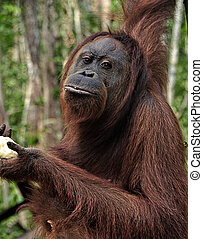 Orangutan in the Jungle - Orangutan in the jungle, Camp...