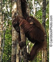 Orangutans - Baby orangutan with her mother in the wild