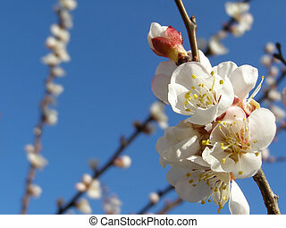 Fruit tree flowers - Apricot fruit tree flowers in spring...