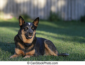 Australian Cattle Dog or blue heeler, laying in the grass