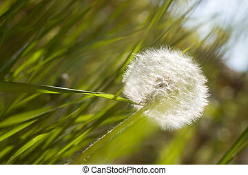 Dandelion in a meadow Useful for spring themes or serenity,...
