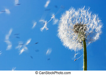 Dandelion Flying Seeds - Dandelion seeds flying in the blue...