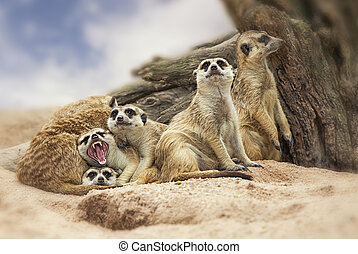 group of meerkat - Portrait group of meerkat sit on sand...