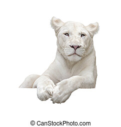 White lion with isolated white background